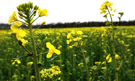 Genetically modified oilseed rape, one of the four main commercial GM crops. Photograph: David Levene